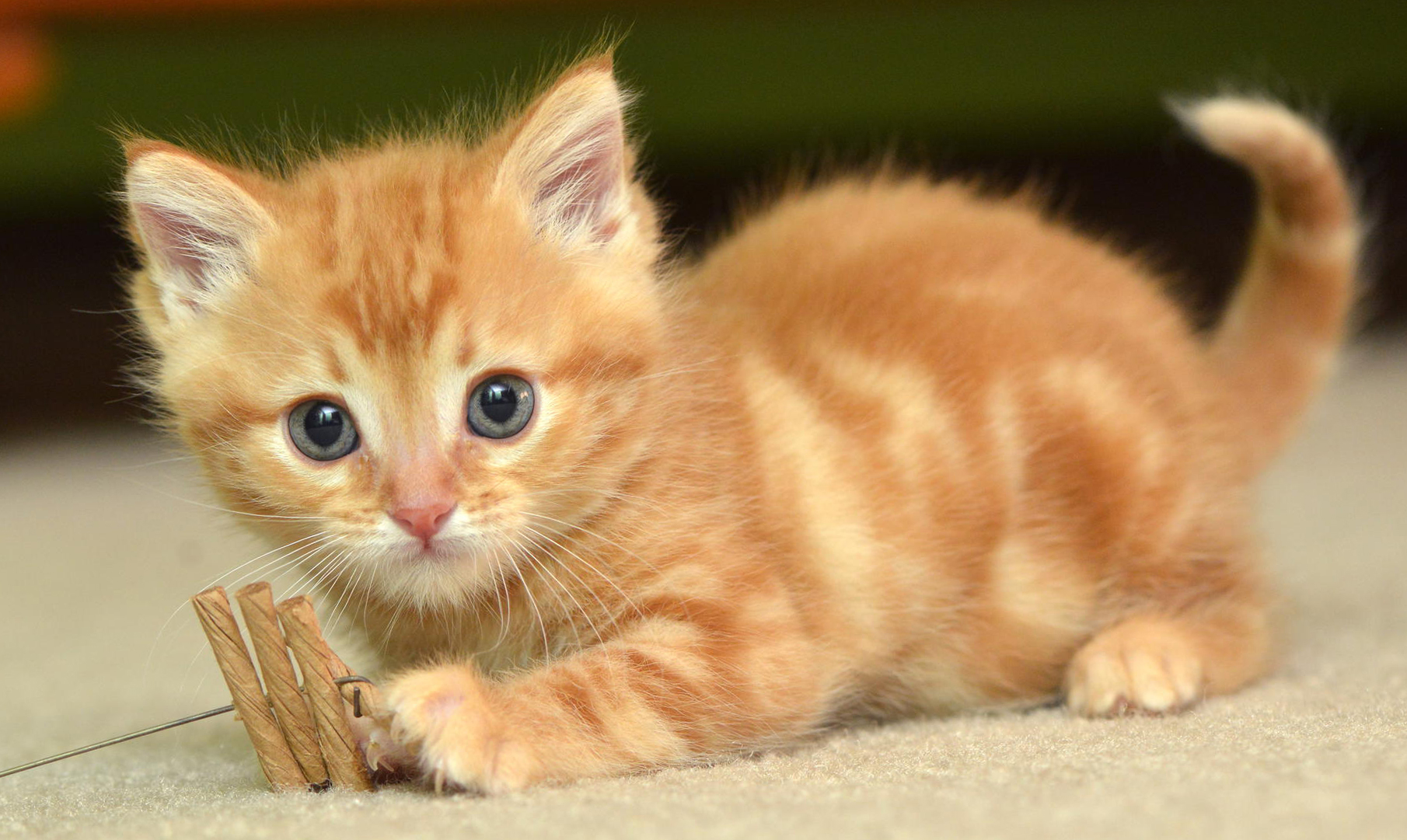 What Are Hybrid Cat Breeds?